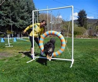 throwback pomeranian doing agility