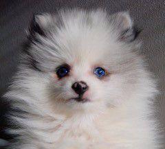 Pomeranian nose color 12 weeks old