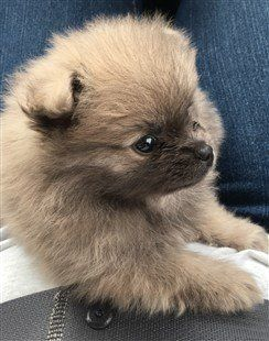 7 week old Pomeranian puppy, sable