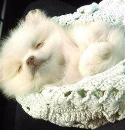 white Pomeranian genetically blue nose