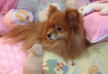 Orange Pomeranians | Information and Photos