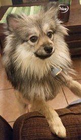 Pomeranian Size | Pet Pom Information Center