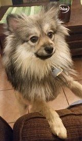 20 pound Pomeranian