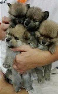 litter of pomeranian pups