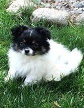 white and black parti pom with tan markings