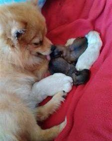 dam licking newborn pomeranians