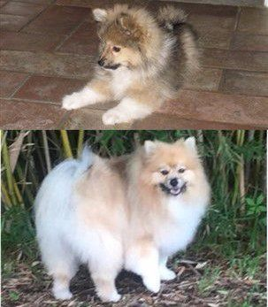 Pomeranian throwback puppy vs adult