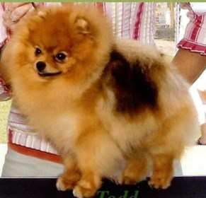 AKC pointed Pomeranian