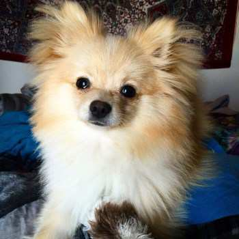 10 month old male Pomeranian puppy