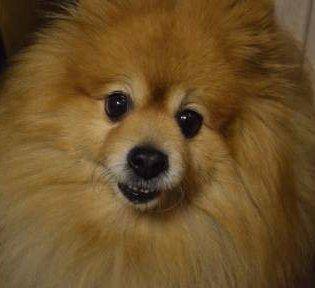 full size Pomeranian