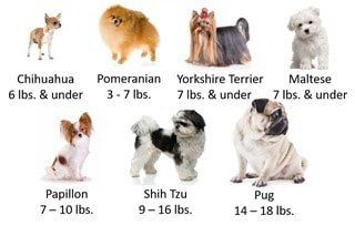 Pomeranian Size | Pet Pom Information Center