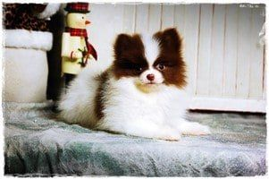 North Texas Pomeranian Breeder - Puppy
