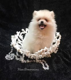 Pomeranian Breeders Personally Recommended