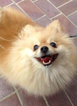 Pomeranian with thick coat of hair