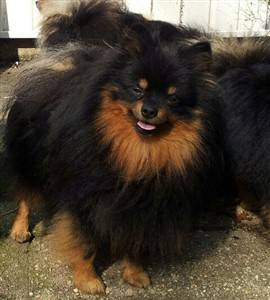 Pomeranian with red marking