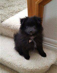 black Pomeranian 9 months old