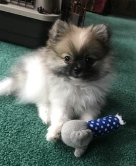 adorable-pomeranian-puppy