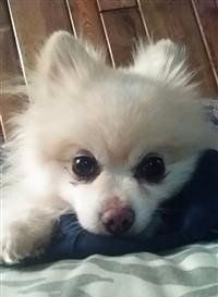 extreme piebald parti nose color-Pomeranian
