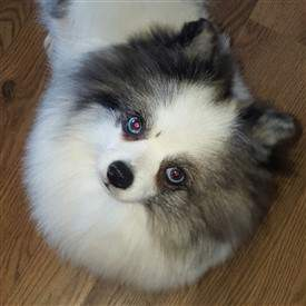 Merle Pomeranian with solid black nose
