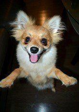 funny parti Pomeranian
