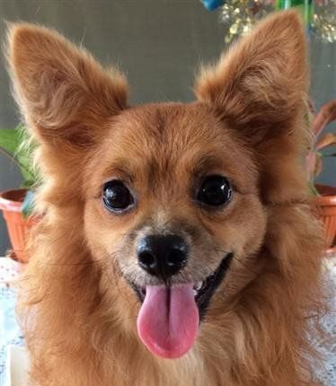 Pomeranian black nose shiny