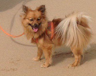 pomeranian collar best harness and collars for a pomeranian 7765