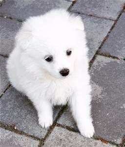 pure white Pomeranian