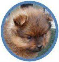 Baby doll Pomeranian