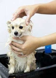 Giving Pomeranian a bath