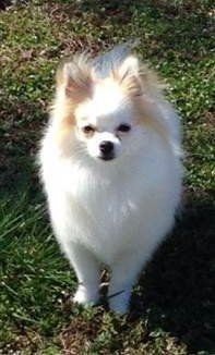 10 month old Pomeranian dog
