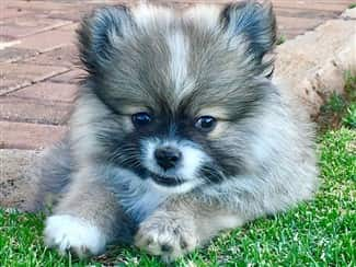 beautiful-pom-puppy