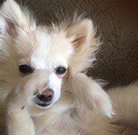black and pink nose Pomeranian 7 months