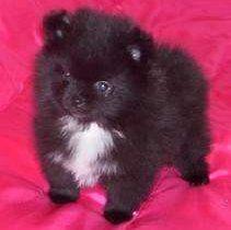 black mismark Pomeranian