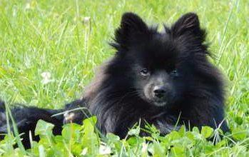 solid black Pomeranian sitting in grass