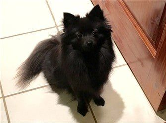 black-pomeranian-dog