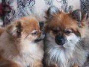 boy and girl Pomeranians