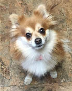 brown and white Pomeranian