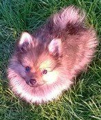 brown nosed Pomeranian