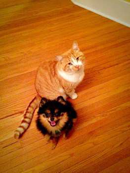Pomeranian and a cat together