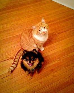 little Pomeranian and big cat