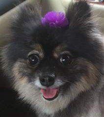 Pomeranian with black nose