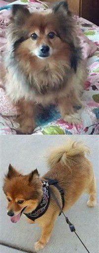 Sable shaved Pomeranian before and after