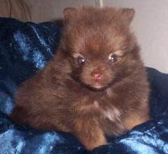 Chocolate tan sable Pomeranian