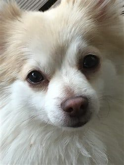 close-up-of-pomeranian-dog
