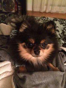 cute little Pomeranian