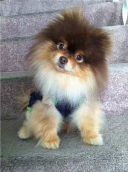 teacup pomeranian full grown size pomeranian size pet pom information center 9730