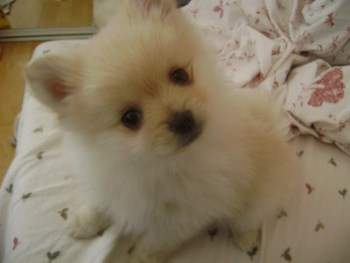 cute cream colored Pomeranian pup
