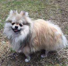 tri color merle Pomeranian