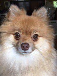 Pomeranian brown mismark nose