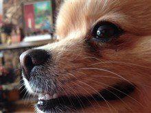 dark brown nose on Pomeranian dog
